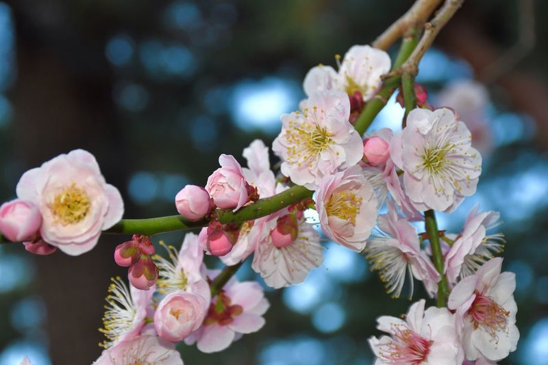 Plum Blossom Japanese Plum Blossom EyeEm Best Shots - Nature EyeEm Best Shots - Flowers Flower Flowering Plant Plant Fragility Vulnerability  Beauty In Nature Freshness Pink Color Close-up Petal Blossom Flower Head Day Springtime Nature Branch