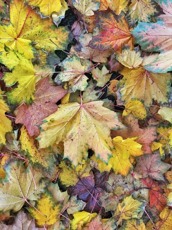 Autumn Change Leaf Close-up Nature No People Backgrounds Yellow Colorful October September Saison Saison Change Leaves Fragility Vibrant Color Maple Leaf Maple Outdoors Beauty In Nature Multi Colored Day
