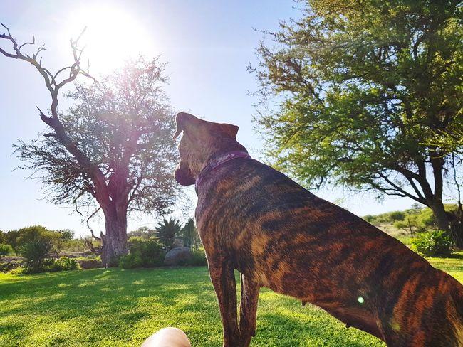 Farm life 🌳 Life whit a Staffie 🐾 Cassy 🐶Rogz gear @Shiloh Game Farm Alldays Limpopo Rogz  Staffielove Staffiecross Staffiesofinstagram Staffiesarethebest Pets Dog Sitting Sky Grass Pet Collar Pet Leash Canine Pet Equipment