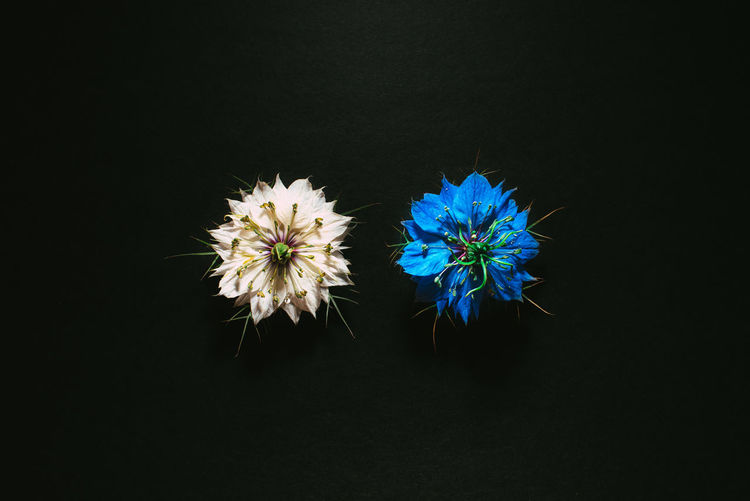 Close-up of blue flowers against black background