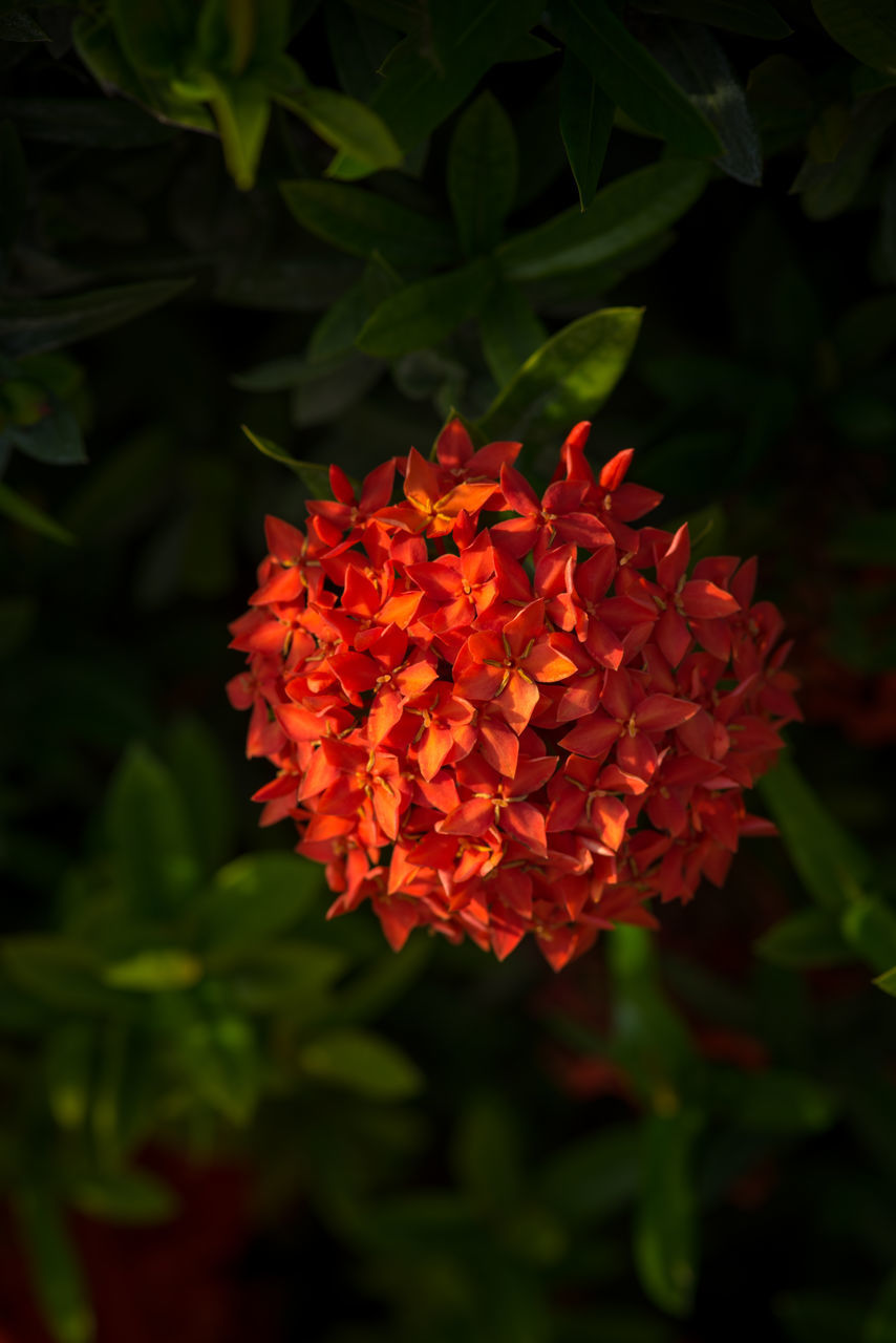beauty in nature, plant, flowering plant, growth, flower, freshness, petal, fragility, flower head, inflorescence, vulnerability, close-up, nature, plant part, red, leaf, orange color, no people, focus on foreground, green color, outdoors, bunch of flowers
