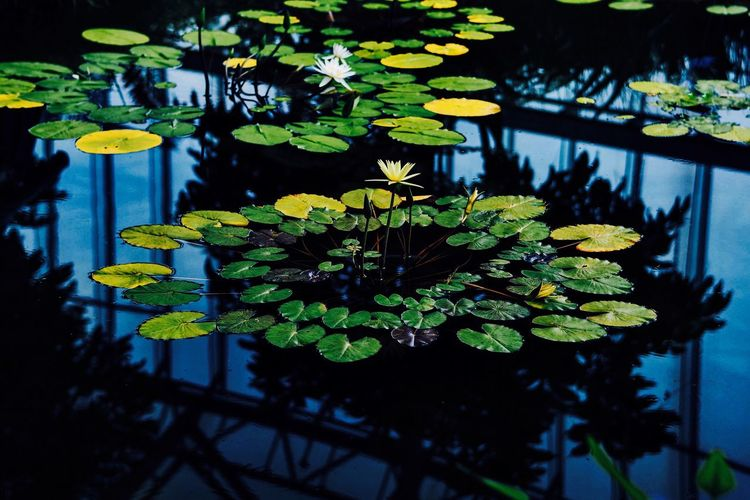 Beauty In Nature Blossom Branch Calm Close-up Day Floating On Water Flower Fragility Freshness Green Green Color Growth Lake Leaf Leaves Lotus Water Lily Nature Plant Pond Standing Water Tranquility Water Water Lily Waterfront