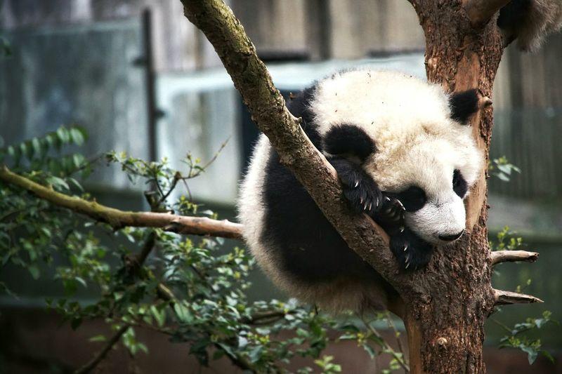 Close-up of panda sleeping on tree