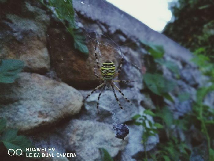 Belle araignée frelon et sa proie sur sa toile avec en son centre de la soie tissée en forme de zigzag appelée stabilimentum Argiope Bruennichi Araignée Stabilimentum Spider Nature_collection Eyenaturelover Argiope Frelon