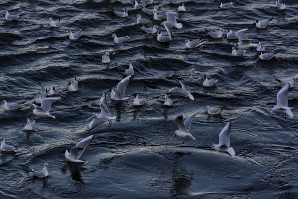 seagulls Nikon Seagulls Animal Themes Animal Wildlife Animals In The Wild Beauty In Nature Bird Birds Blue Water Close-up Day Elbe Koehlbrand Large Group Of Animals March Nature Nikonphotography No People Outdoors Swimming Water
