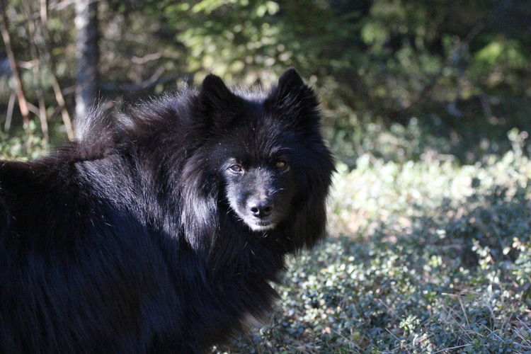 Close-Up Of Swedish Lapphund Standing On Field At Forest
