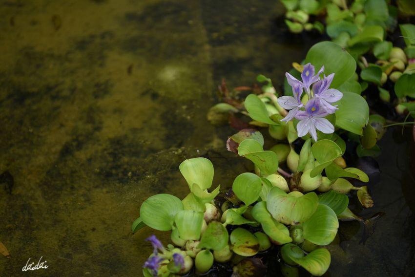 邪悪な目とかそういうのに見えてしまう D750 Lightroom Edit Fukuokadeeps 海の中道海浜公園 花 Flower Flowerporn Flower Head Plant Petal Floating Beauty In Nature Pond Purple Nature Leaf Water Summer