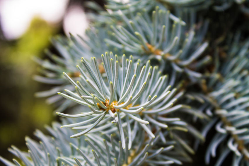 Abies Beauty In Nature Close-up Nature