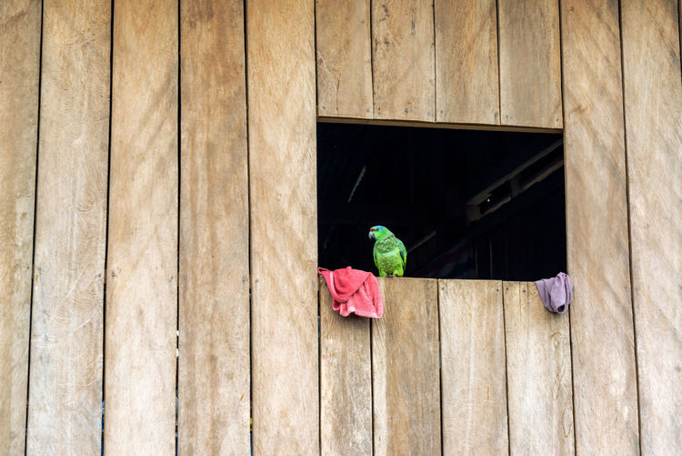 Green parrot in a wooden of a wooden shack of the Belen neighborhood of Iquitos, Peru Amazon Amazonas Amazonia Belén Bird Day Green Green Color Iquitos  Latin America No People Outdoors Parrot Peru Shack South America Tourism Travel Travel Destinations Wood Wood - Material Wooden