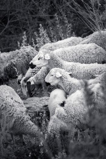 Close-up of sheep on ground