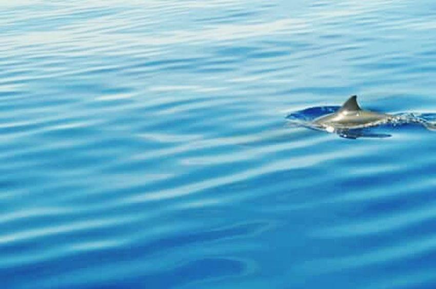 wait for me Dolphinwatching BaisCity Sandbar ReinaPF One Animal Swimming Animal Wildlife Animal Water Animals In The Wild Animal Themes Dolphin Blue Aquatic Mammal No People Animal Fin Outdoors Nature Sea