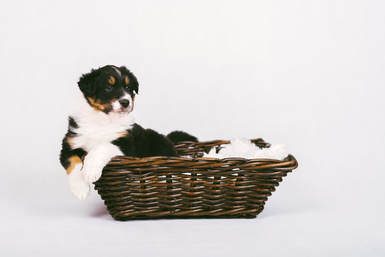 High angle view of puppy in basket against white background