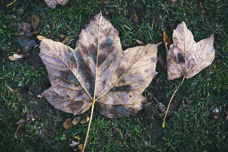 Close-Up of Fallen Maple Leaves Berlin Germany 🇩🇪 Deutschland Horizontal Outdoors No People Color Image Plant Plant Part Leaf Nature Day Autumn Forest Botany Dry Land Change High Angle View Close-up Vulnerability  Maple Leaf Natural Condition Fragility Fallen Grass