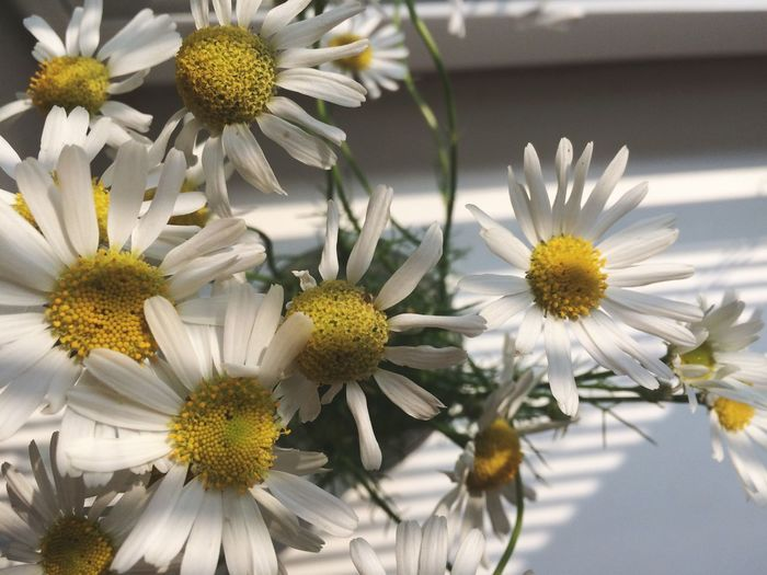 Eyeem Russia Flower Last Year Nature White Color Growth Beauty In Nature Waiting For Summer Flower Head Freshness Day Plant Close-up Blooming Camomile EyeEm Selects