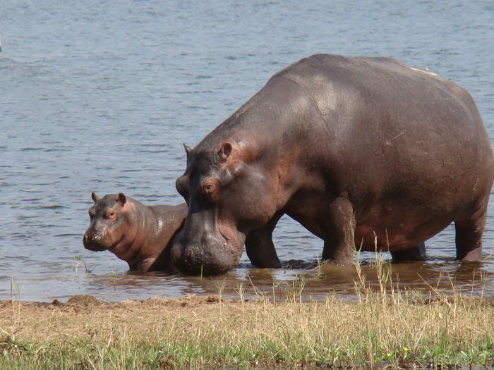 A hippo mum with her baby in the lake Kariba Baby EyeEmNewHere Family Mum Animal Themes Animal Wildlife Animals In The Wild Beauty In Nature Day Domestic Animals Grass Hippo Hippo Baby Lake Mammal Nature No People Outdoors Safari Animals Togetherness Two Animals Water Waterfront