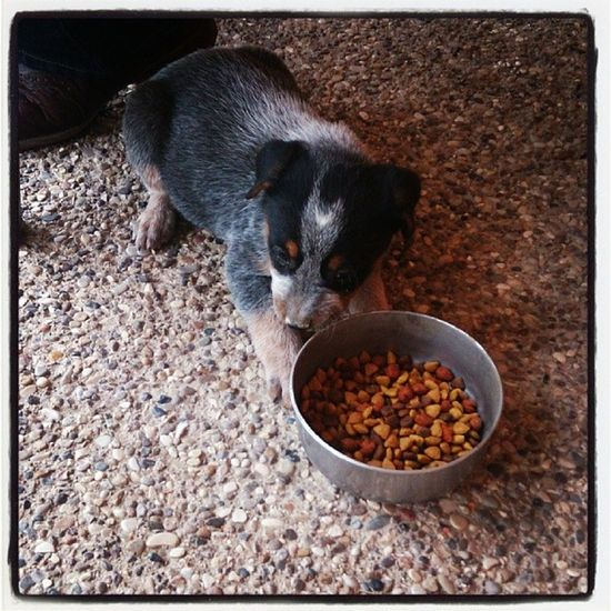 New addition to my little famILY<3<3<3 Blue Heeler Love Cute puppychow