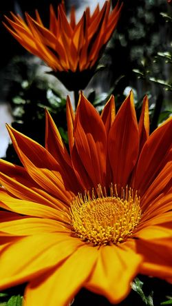 Gazania Flower Nature Fragility Orange Color Beauty In Nature Petal Freshness Close-up Flower Head Plant Pollen Blooming Growth Outdoors No People Day Beautiful Flower Yellow Flowers Glowing Flower Gazania Flowers Gazanias