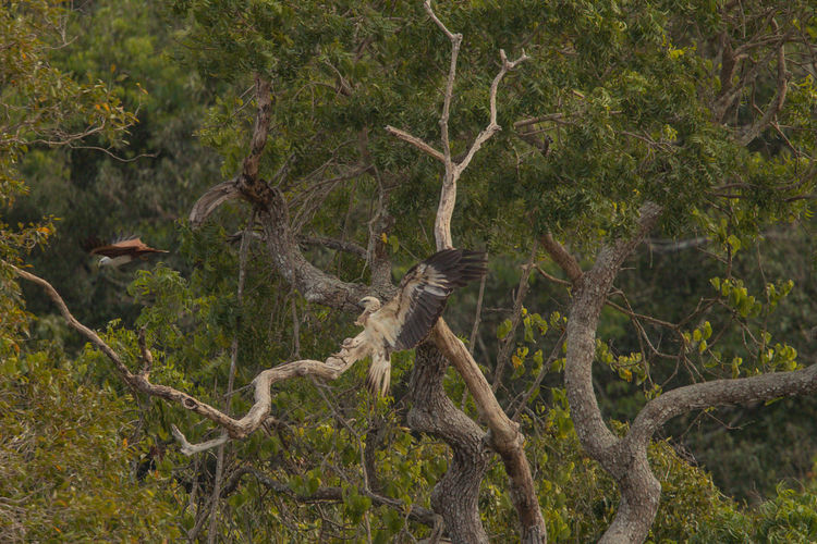 Brahminy kite and white-bellied sea eagle on tree in forest