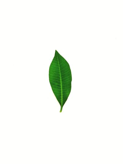EyeEm Selects green leaf on white background. Leaf Green Color Close-up Nature White Background Studio Shot No People Freshness Beauty In Nature Day