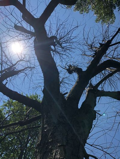 Dead tree Tree Plant Branch Low Angle View Sky Nature Sunlight Day Growth Trunk Tree Trunk No People Beauty In Nature Tranquility Outdoors Lens Flare Sun Directly Below Silhouette Clear Sky