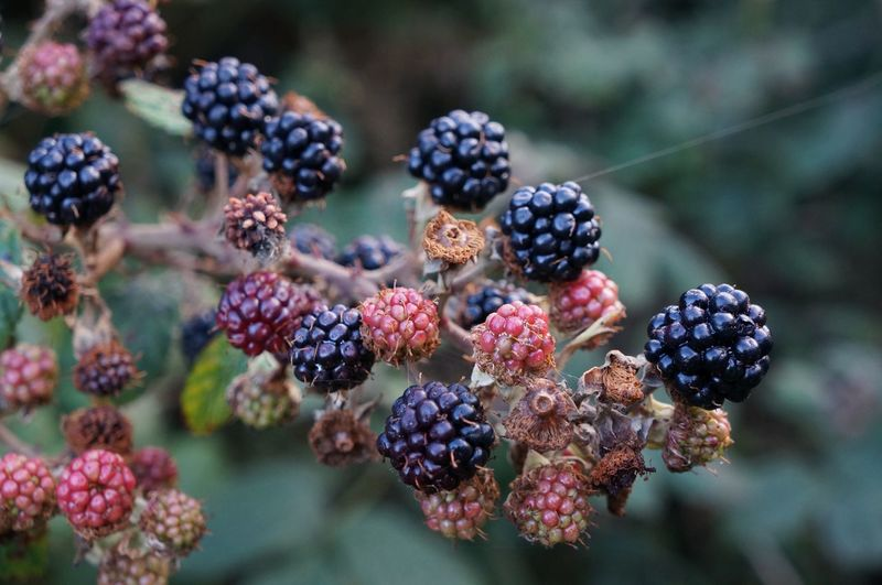 Close-up of blackberries growing on branch