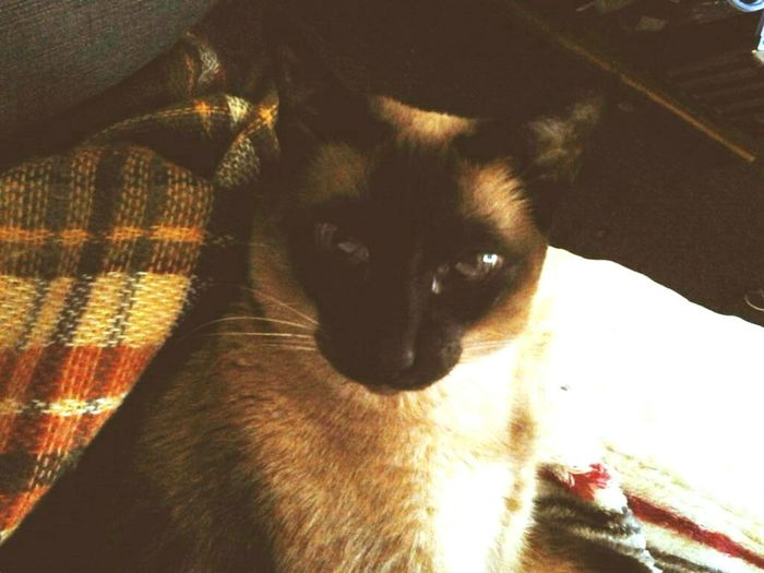 I love my mama Girl Power That's Me Hello World Hanging Out Taking Photos Cheese! Siamese Cat Siamese Cat Sitting On Bed