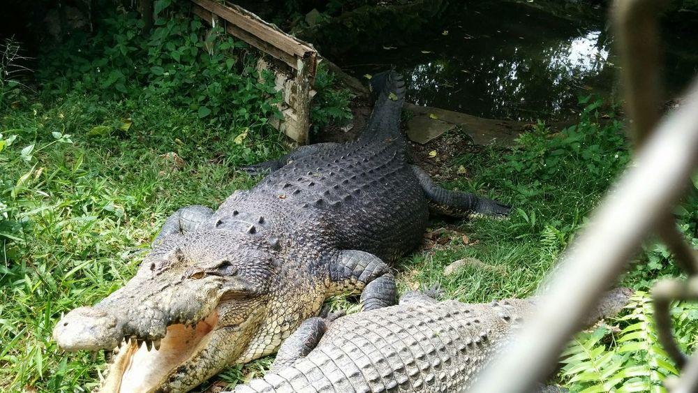 Wildlife Crocodiles Maneater Carnivore Crocodile Farm Hanging Out Teeth Sharp Godscreation