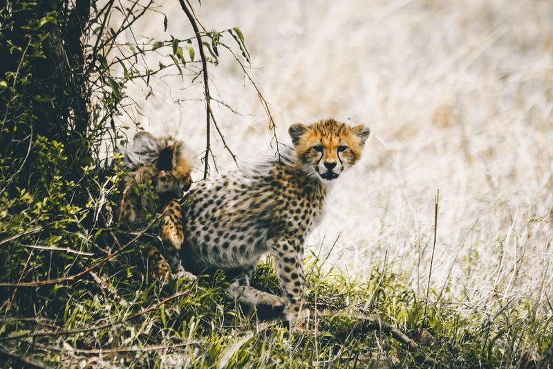 View Of Cheetah Cubs
