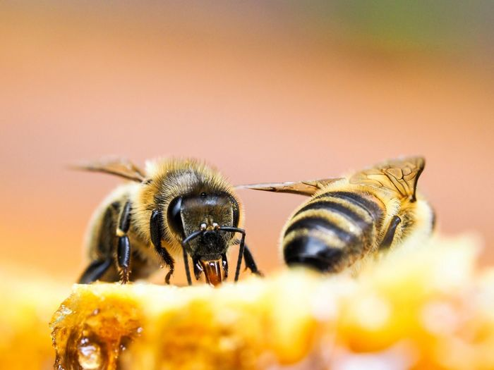 Close-up of bee on honeycomb.