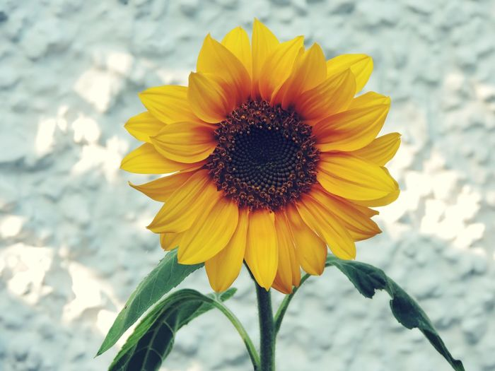 Paint The Town Yellow The lonely sunflower Nature Flower Petal Flower Head Beauty In Nature Close-up Yellow Plant Day Tranquility Summer Bright Light