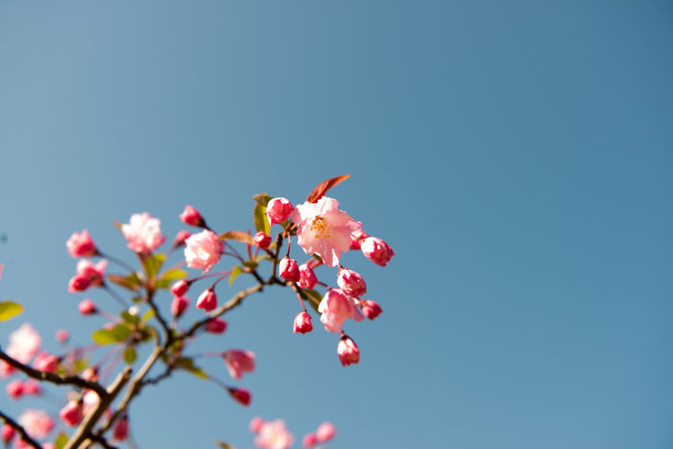 Beauty In Nature Cherry Blossom Cherry Tree Clear Sky Close-up Copy Space Day Flower Flower Head Flowering Plant Fragility Freshness Growth Low Angle View Nature No People Outdoors Petal Pink Color Plant Sky Springtime Tree Vulnerability