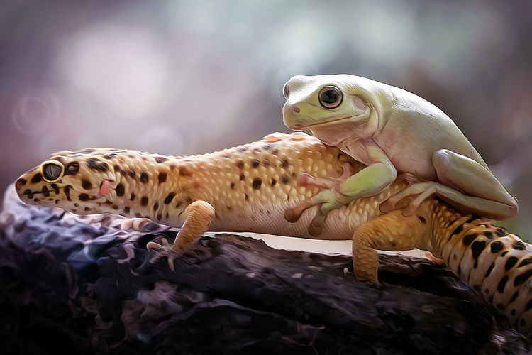Close-up of gecko lizard and a dumpy frog