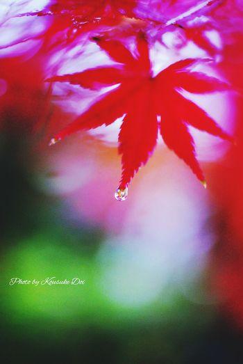 もみじ Rain Drops Rainy Day