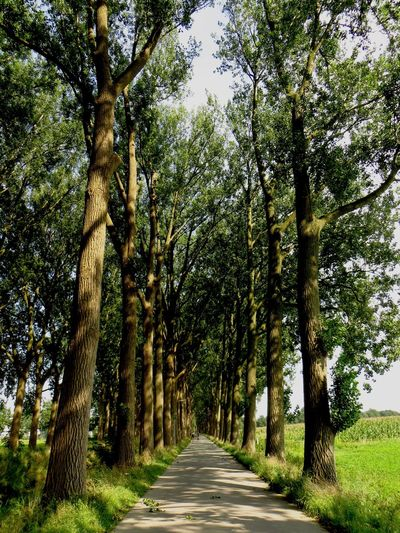 Dutch Landscape Holland Netherlands Vanishing Point Landscape_photography Green Popular Photos Poplars Walk This Way Road