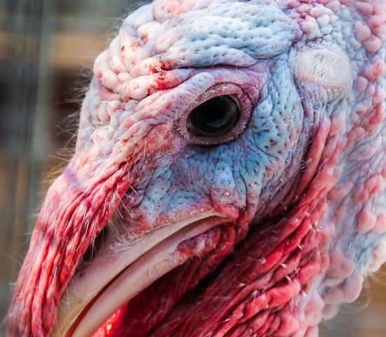 The head of a turkey - In the eye of the beholder... Animal Body Part Animal Head  Beak Bird Blue Close-up Day Detail Domesticated Full Frame Hair Healthy Eating No People Red Turkey Ugly Warts Wattles