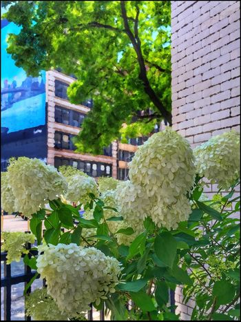 Hydrangea on 4th Ave. - 7/12/16 As I Sees It Close-up EyeEm StreetPhotography, NYC Fine Art Photography Flower Head Fresh On Market July 2016 IPhone Creative Edits W/ Snapped 'n' Enlight On The Way Opportunistic Images On The Go