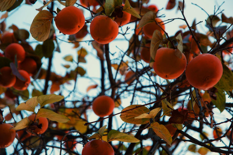 Low angle view of persimmons on tree