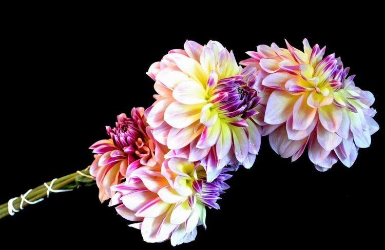 dahlias Flowers Taking Photos