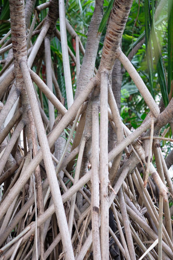 Mangrove Forest Rhizophora Apiculata Close-up Day Growth Mangrove Mangroveplant Nature No People Outdoors Palm Tree Rhizophora Tree Wood - Material