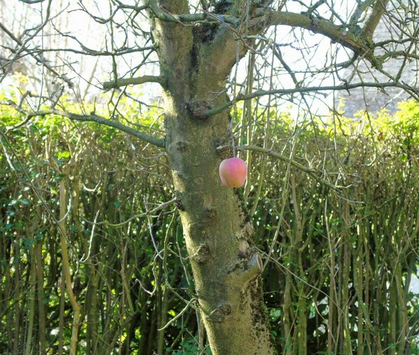 Valentine's Day FEB 2017 - Discovered the last apple of the 2016 harvest, still hanging in there. Will leave it there and so remain in paradise! Apple Apple Tree Apple Tree Flowers Apple Trees  Apples C Close-up Crop 2016 Day February February 2017 G Grass Growth Harbor Harvest Harvest 2016 Harvest 2017 Nature No People Outdoors Tree Valentine's Day  Valentine's Day 201è