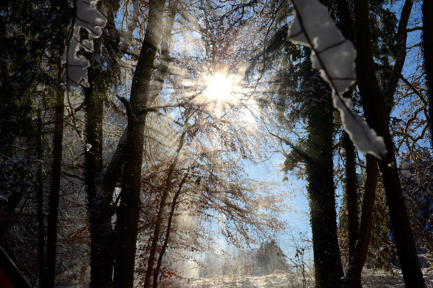 Sunny Snowfall from trees Falling Nikon Sunlight Sunny Winter Beauty In Nature Branch Cold Day Forest Germany Low Angle View Nature Outdoors Sky Snow Snowfall Sun Sunlight Sunshine Tree Tree Trunk White Shades Of Winter