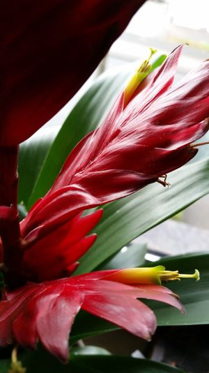 Bromeliad Flower Red Nature Growth Beauty In Nature Plant Close-up Bromelia Starting to flourish