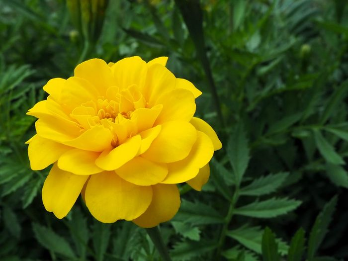Beautiful yellow mariglod flower blooming Marigold Flora Floral Nature Flower Head Flower Yellow Petal Beauty Closing Summer Close-up Plant Botany Blossom Bud Flowering Plant Botanical Garden Plant Life In Bloom