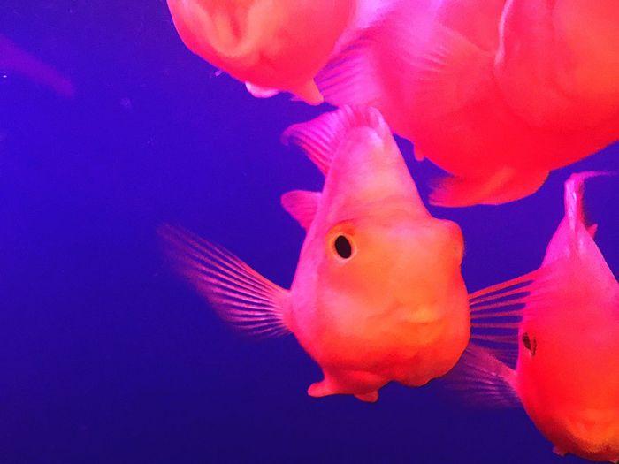 鹦鹉fish