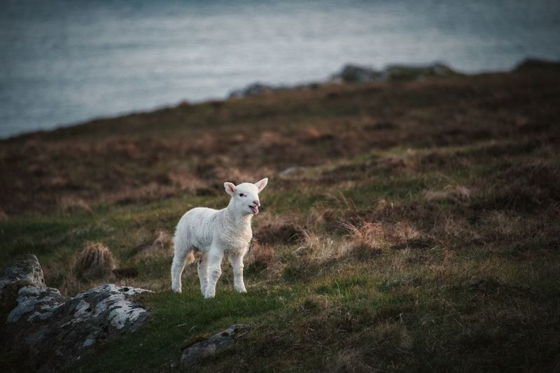 White lamb standing on field by sea