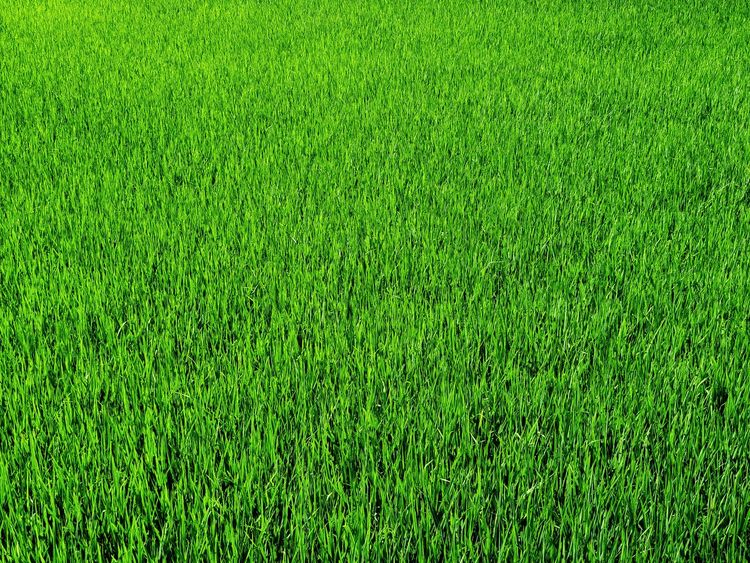 Rice fleld Soccer Field Playing Field Backgrounds American Football - Sport Full Frame Sport Lawn Field Turf American Football Field Grass Area Green - Golf Course Putting Golfer Teeing Off Golf Cart Golf Shoe Golf American Football - Ball Golf Flag Golf Course Putting Green Sand Trap Tee Blade Of Grass