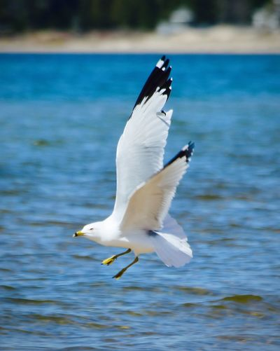 More at https://thetinmansheart.com Animal Wildlife Animals In The Wild Beauty Beauty In Nature Bird Close-up Day Flying Focus On Foreground Inspirational Lake Life Mike Stouffer Nature Outdoors Seagull Spread Wings TheSixthLens Water
