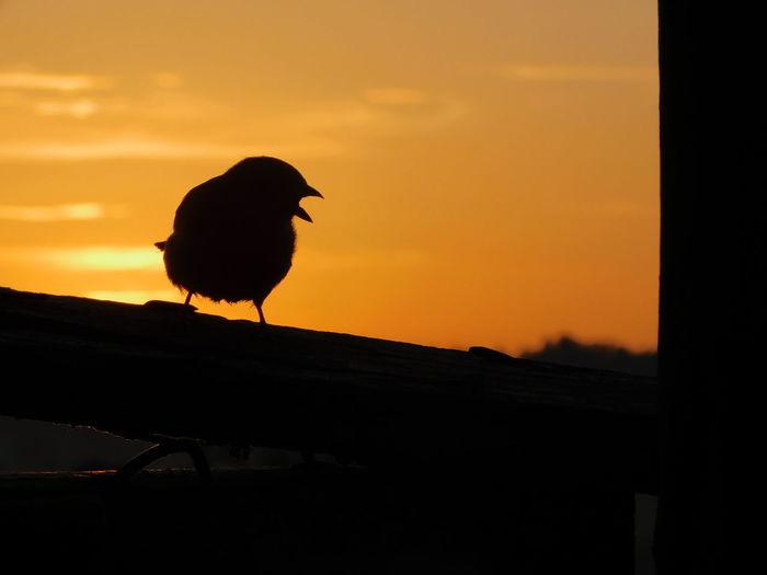 House Sparrow Sillhouette Singing Bird Singing Sparrow Silhouette Sunrise_sunsets_aroundworld Sunrise Silhouette Sunrise Bird Silhouette Bird Of Prey Animal Themes Sky Perching Sparrow