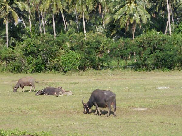 Nature Buffalo animal No People Farm farm Country Thailand field Dry grass Travel Tree Plant Plam
