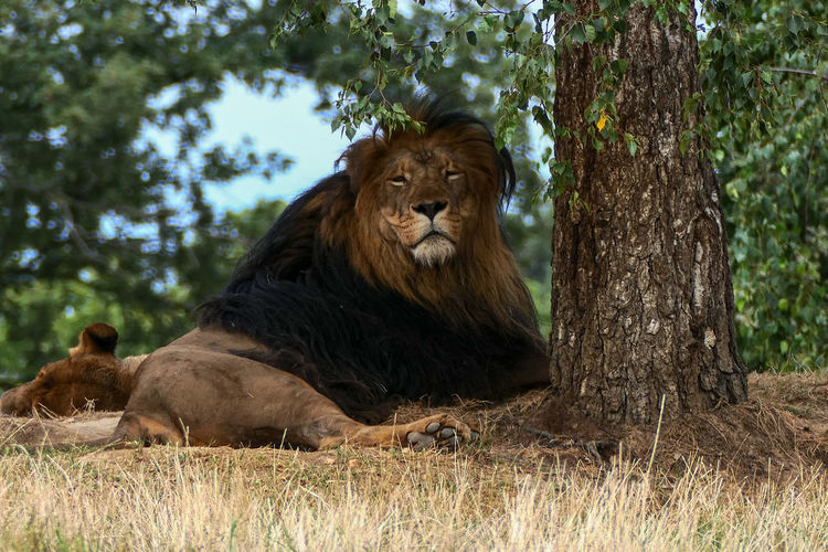 Tree Lion -